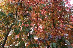 Some autumn leaves. Beautiful autumn leaves on a tree Royalty Free Stock Photos