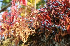 Beautiful autumn leaves of wild winery. On the wall of the house royalty free stock images