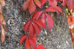 Beautiful autumn leaves of wild winery. On the wall of the house stock photo