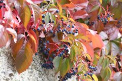 Beautiful autumn leaves of wild winery. On the wall of the house royalty free stock image