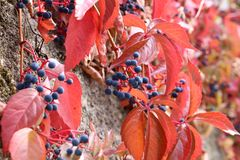 Beautiful autumn leaves of wild winery. On the wall of the house stock photography