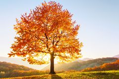 Beautiful autumn. The lonely lush tree with yellow leaves with sun shinning through and view to blue sky is on the green lawn. royalty free stock photos
