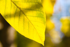 Beautiful autumn macro yellow leaves Royalty Free Stock Images
