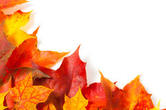 Beautiful autumn maple leaves Royalty Free Stock Images