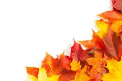 Beautiful autumn maple leaves Stock Image