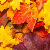 Beautiful autumn maple leaves Stock Photo
