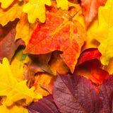 Beautiful autumn maple leaves Stock Photo