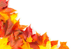 Beautiful autumn maple leaves Stock Images