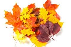 Beautiful autumn maple leaves Royalty Free Stock Photos