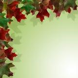 Beautiful autumn maple leaves Stock Photos