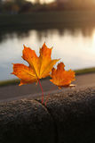 Beautiful autumn maple leaves Stock Photos