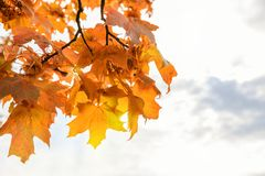 Beautiful autumn maple leaves on tree in park. On white background Royalty Free Stock Image