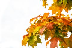 Beautiful autumn maple leaves on tree in park. On white background Stock Photo