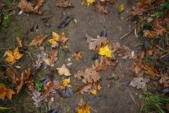 Beautiful autumn maple and oak tree leaves on the ground. Beautiful autumn golden maple and oak tree leaves on the ground. Top view Royalty Free Stock Photo