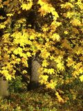 Beautiful autumn maple in a park with large yellow leaves stock image