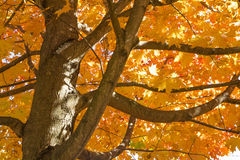 Beautiful Autumn Maple Tree Royalty Free Stock Images