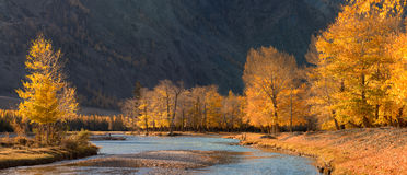 A beautiful autumn mountain landscape with sunlit poplars and blue river. Autumn forest with fallen leaves.