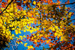 Beautiful autumn multicolor leaves Stock Photography