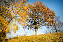 Beautiful autumn oak tree. On a sunny day Stock Images