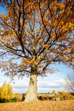Beautiful autumn oak tree Stock Image