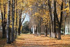 Autumn. Beautiful  autumn panorama on  golden birch trees alley in sunny day Royalty Free Stock Images