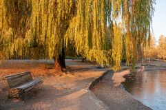 Free Beautiful Autumn Park With Bench And Yellowed Weeping Willow Tree Royalty Free Stock Photos - 194563408