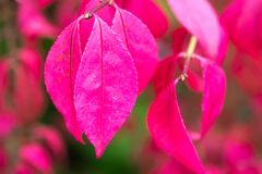 Autumn pink leaves on a tree background Royalty Free Stock Image
