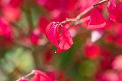 Autumn pink leaves on a tree background royalty free stock images