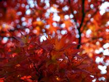 Beautiful autumn in red Stock Images
