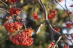 Beautiful autumn red rowan berries Royalty Free Stock Photography
