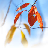Beautiful autumn red and yellow leaves. Above bright blue sky. Selective focus Stock Photography