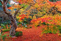 Beautiful autumn scenery of colorful foliage of fiery maple trees and a red carpet of fallen leaves in a garden in Kyoto. Japan ~ Scenic view of a fall forest Stock Photo