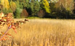 Beautiful autumn scenery panorama. Beautiful fall colors in Helsinki, Finland. Focus on rowan tree leaves in foreground with a field in the background stock photos