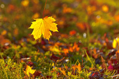 Beautiful autumn season sunny yellow maple leaf falls Stock Photo