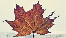 Beautiful autumn/spring specific photo. Maple leaf with beautiful red colors. Close up photo. Beautiful lights and colors. royalty free stock images