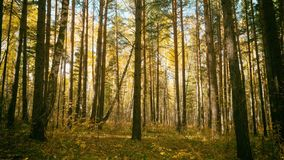 Beautiful autumn, summer season forest with sun rays through the leaves. stock images