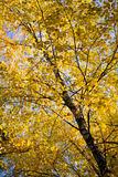 Beautiful autumn tree Stock Images