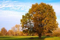 Beautiful Autumn Tree. Lonely beautiful autumn tree. Autumn Landscape Royalty Free Stock Image