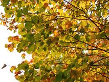 Beautiful autumn tree branches with colorful leaves , Lithuania stock image