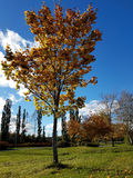 Beautiful autumn tree with colorful leaves royalty free stock photo