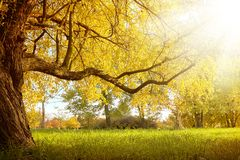 Beautiful autumn tree with fallen dry leaves Stock Photography