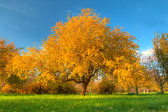 Beautiful autumn tree with fallen dry leaves Royalty Free Stock Photo