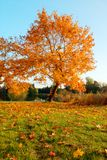 Beautiful autumn tree with fallen dry leaves Stock Photos