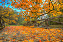 Beautiful autumn tree with fallen dry leaves Stock Images