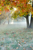 Beautiful autumn tree in the fog Royalty Free Stock Photo