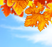 Beautiful autumn tree leaves background border. Beautiful autumn tree border with old dry colorful leaves over blue cloudy sky, abstract background, nature at Stock Image