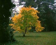 Beautiful autumn tree Stock Photography