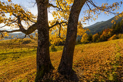Beautiful autumn tree in the sun against the backdrop of mountai Stock Photos
