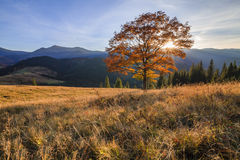 Beautiful autumn tree in the sun Royalty Free Stock Photography