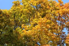 Beautiful autumn tree tops in blue sky royalty free stock image